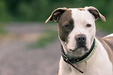 Hàm và lực cắn của chó Pitbull