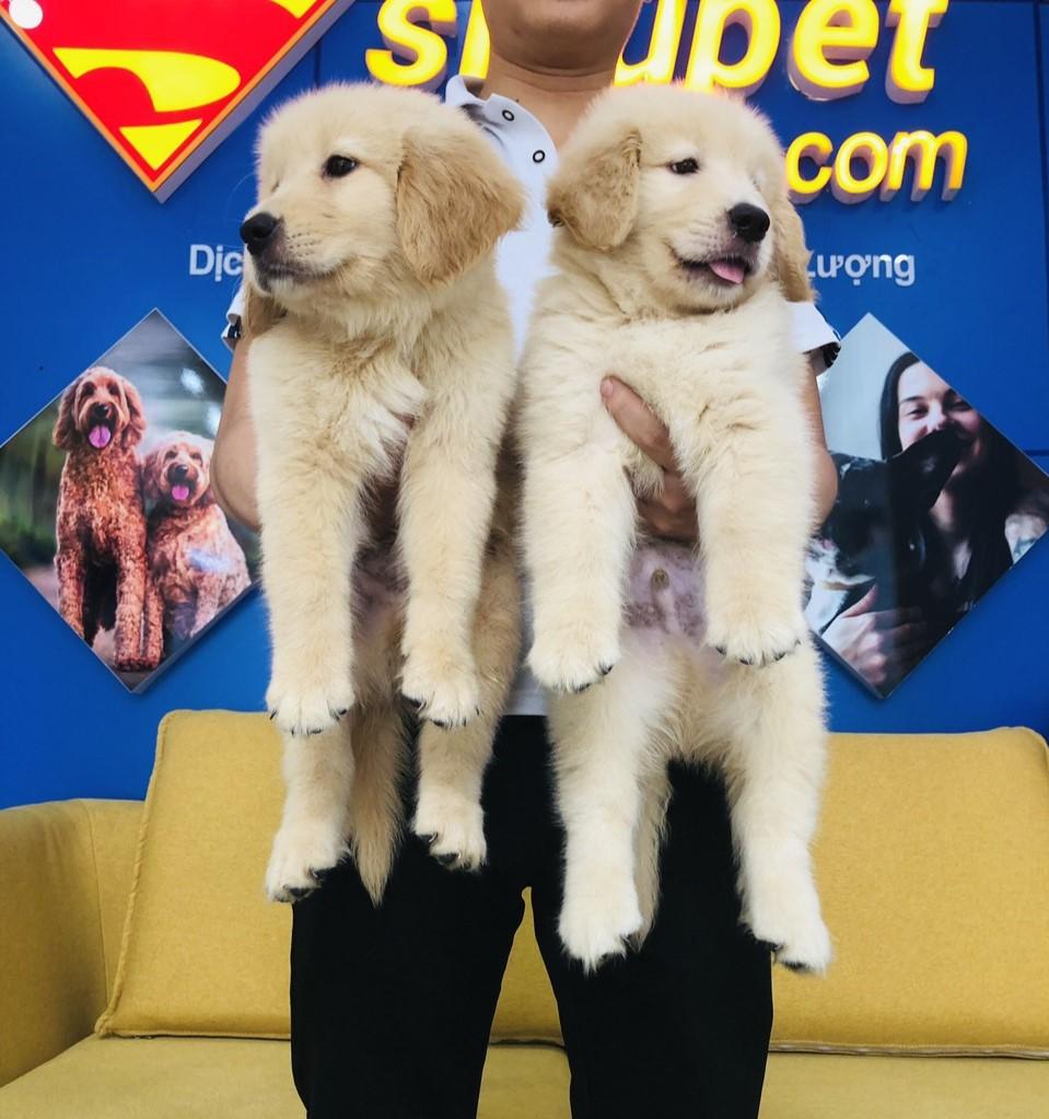 Chó Golden Retriever - Người Bạn Đồng Hành Tuyệt Vời