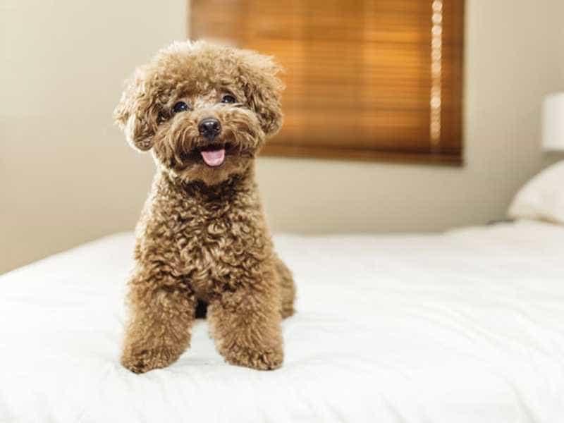 Toy Poodle nau