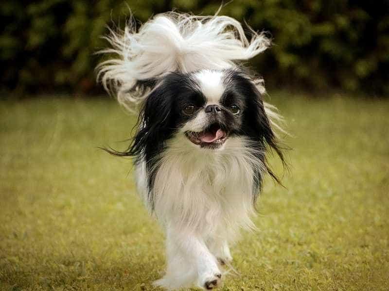 Chó Nhật de thuong