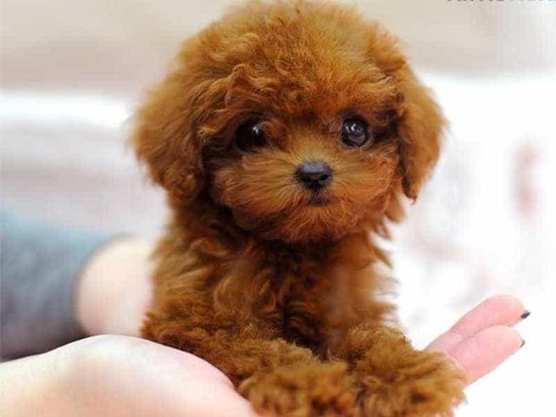 Toy Poodle nho