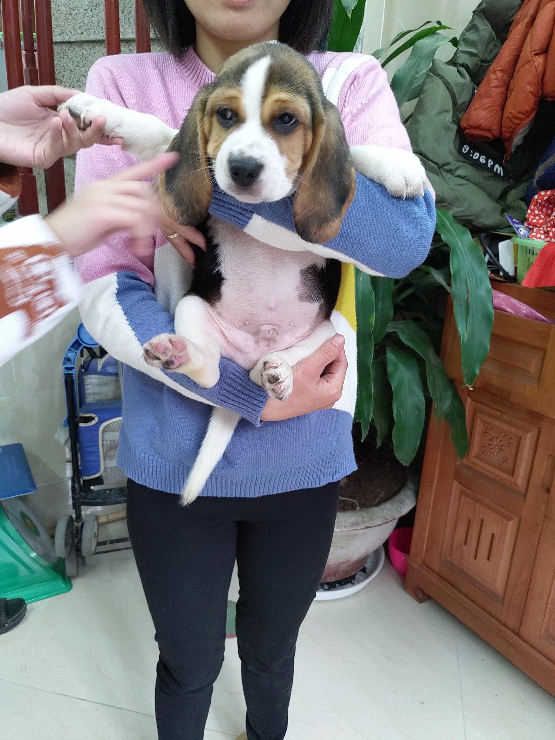 Đàn Beagle 2 Tháng Tuổi