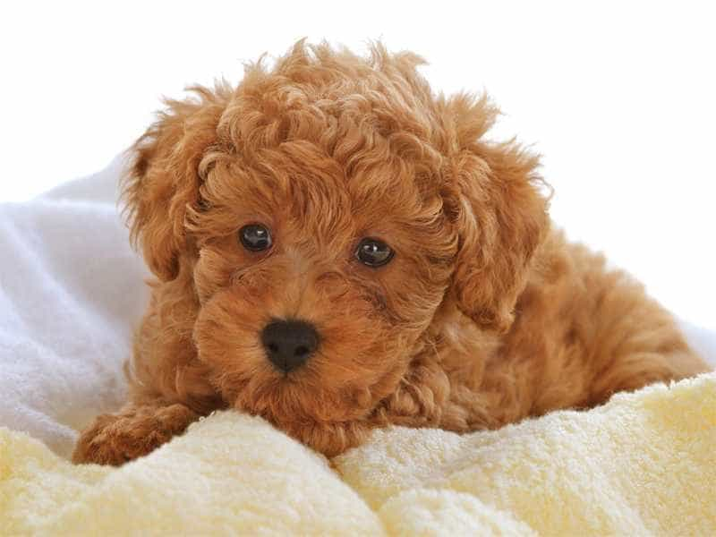Toy Poodle do