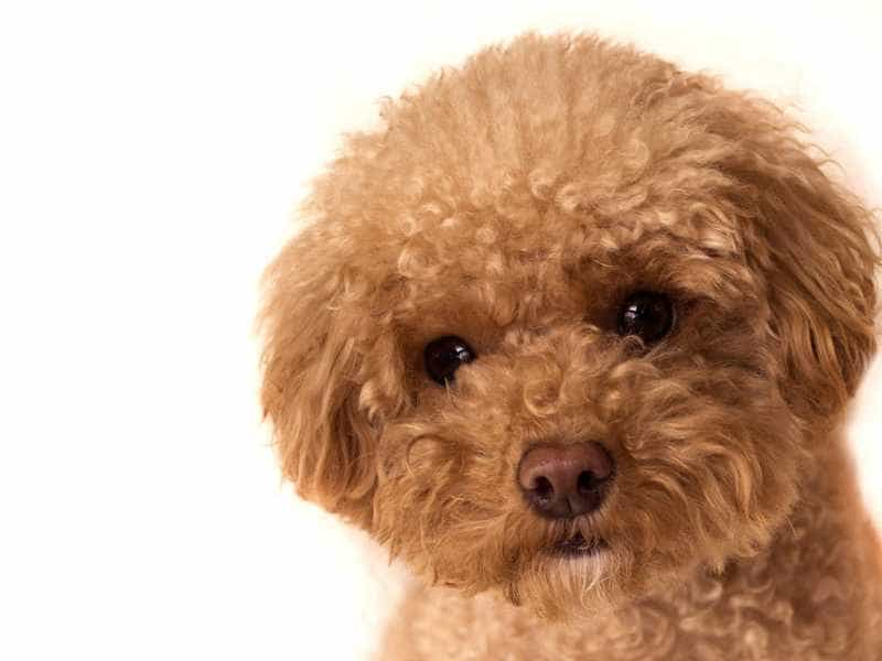 Toy Poodle be