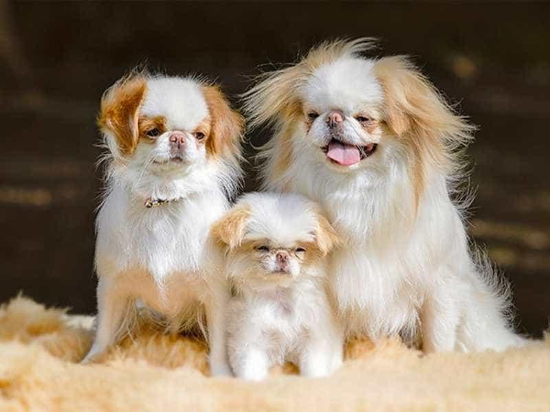 Chó Nhật family