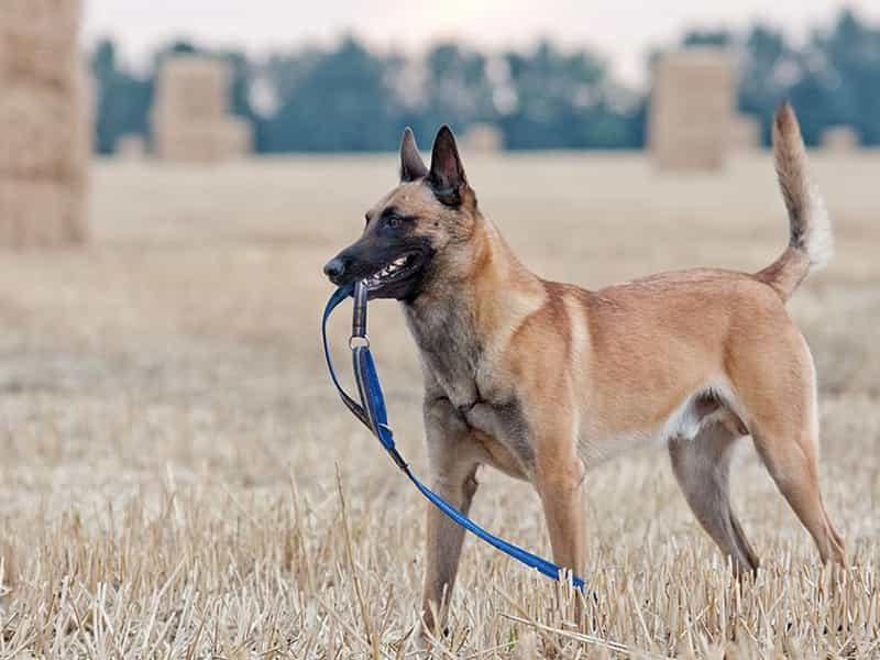 Chó Becgie Bỉ