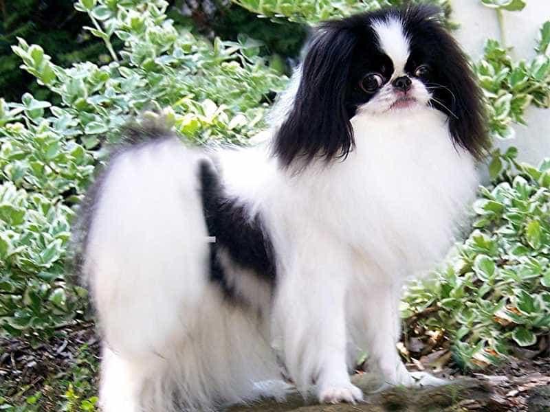 Chó Nhật den trang