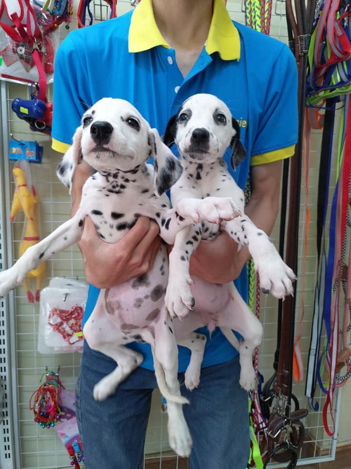 1 Cặp Chó Đốm 2 Tháng Tuổi