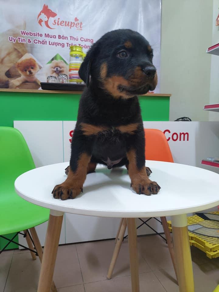 Rottweiler 2 tháng tuổi