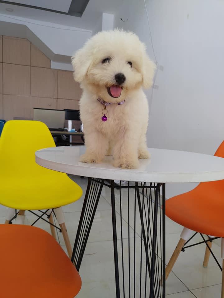 Bé Poodle có nụ cười tươi