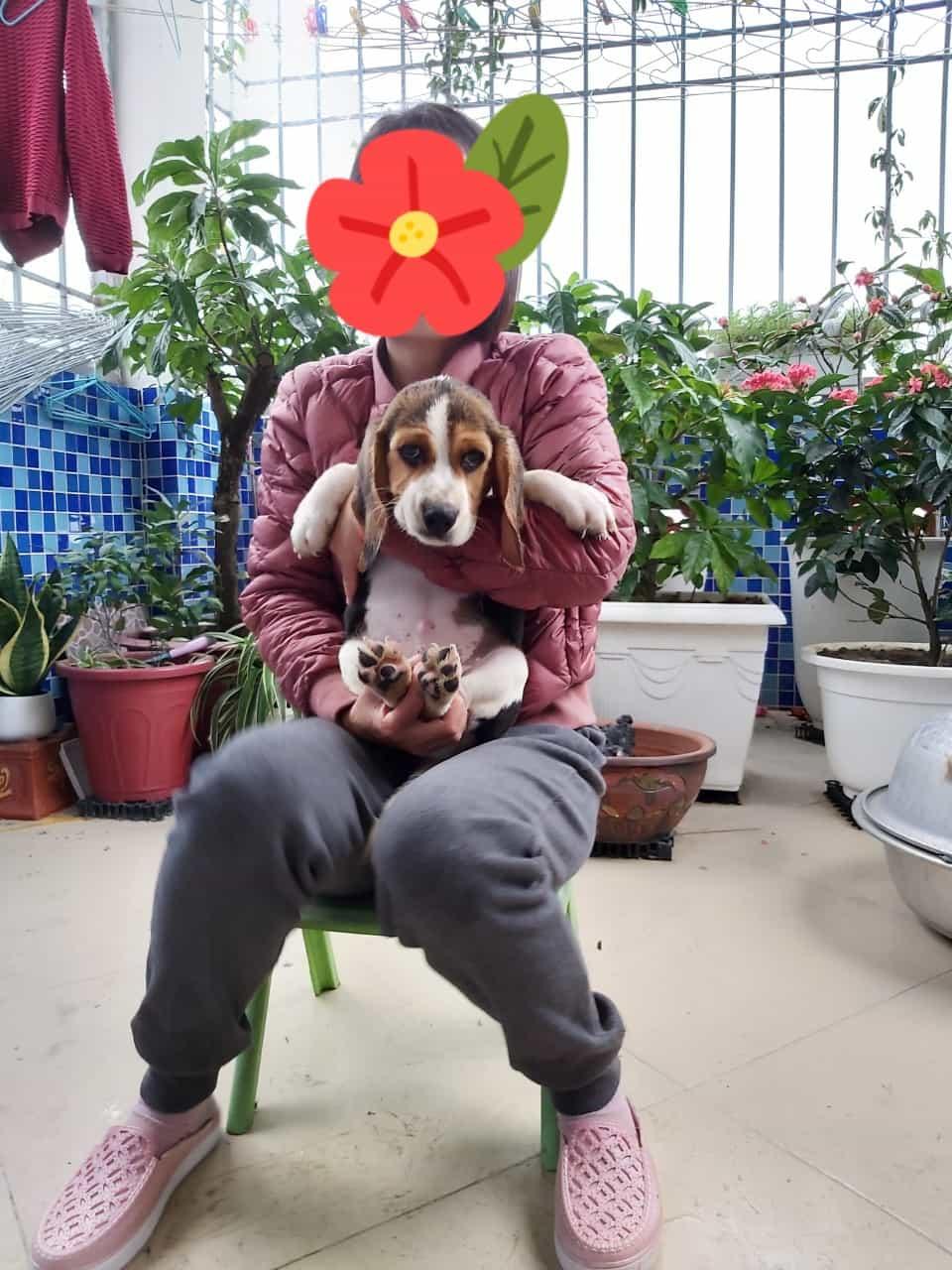 Đàn Beagle 3 Tháng