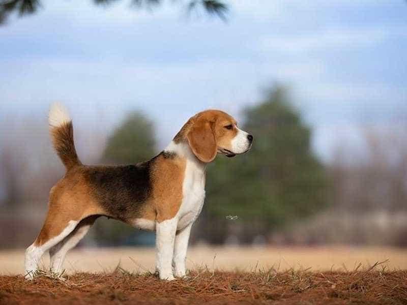 Beagle de thuong