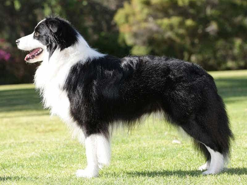 Border Collie den trang