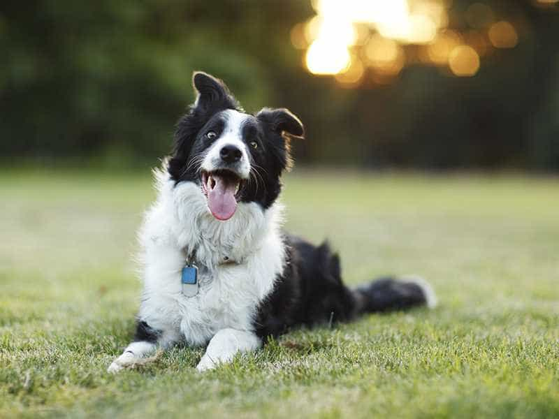 Border Collie dang yeu