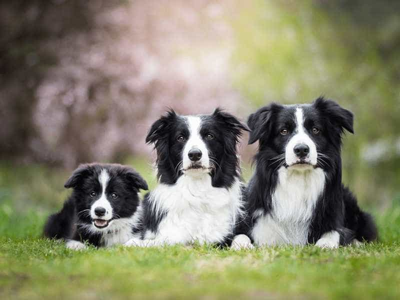 Border Collie cute