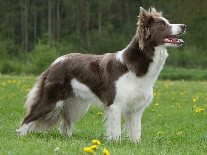 Border Collie nau trang