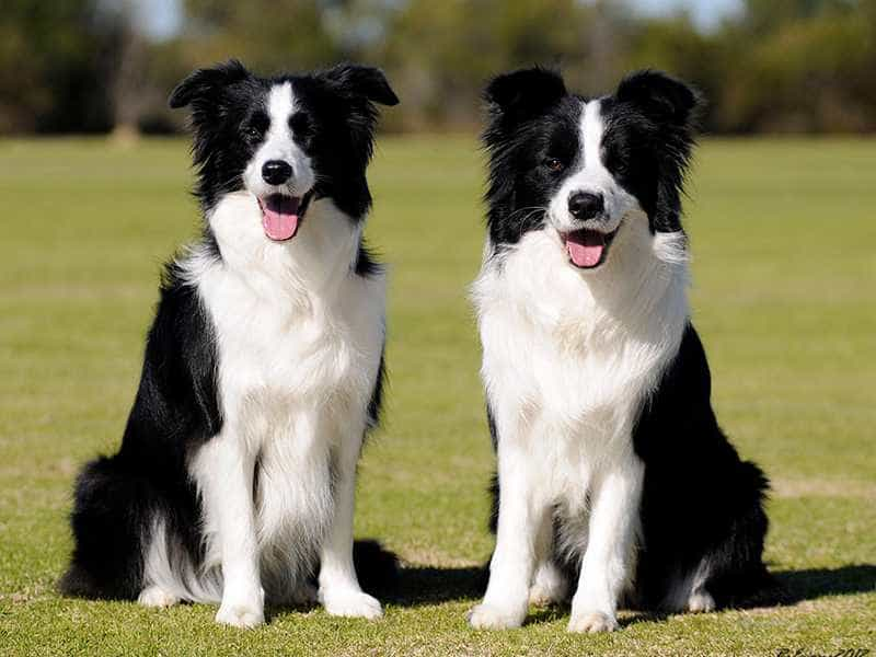 Border Collie de thuong
