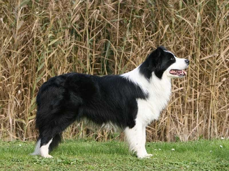 Border Collie to lon