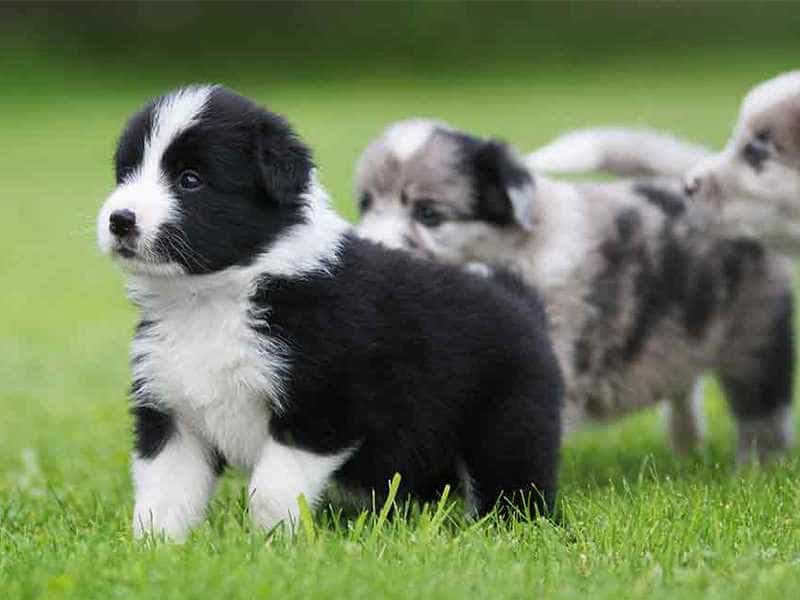 Border Collie con