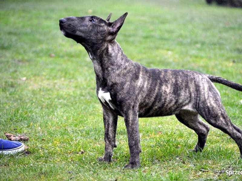 Chó Sục Bò xam