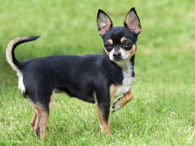 Chihuahua den