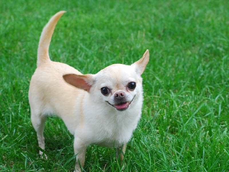 Chihuahua trang
