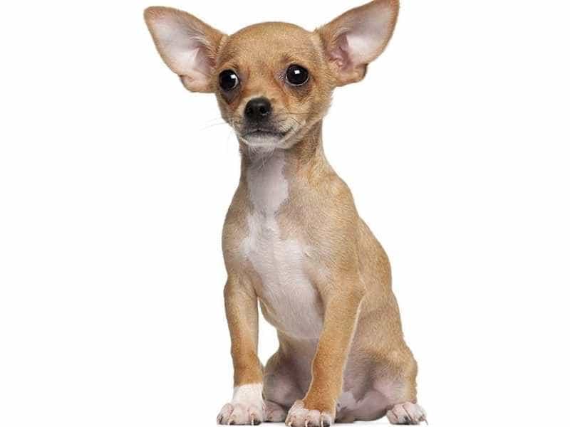 Chihuahua nho