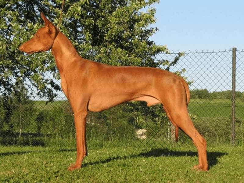 Chó Ai Cập nau