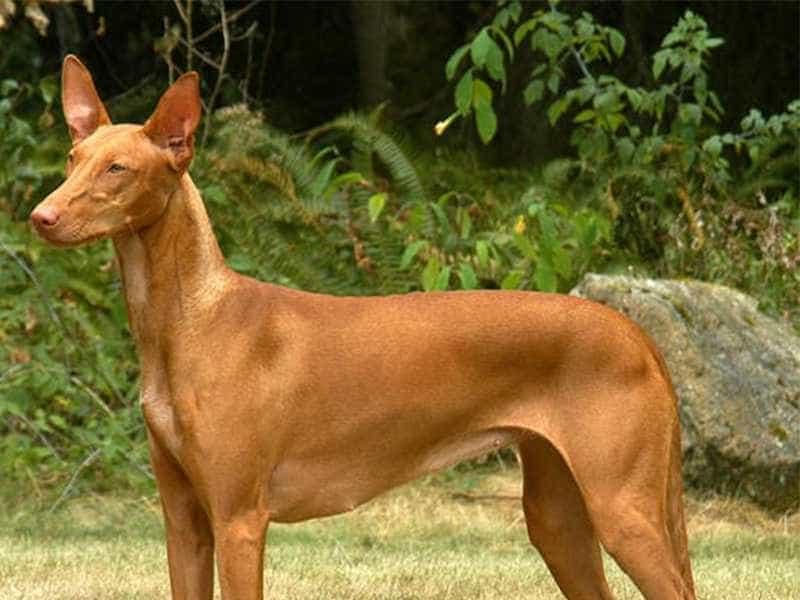 Chó Ai Cập khoe manh