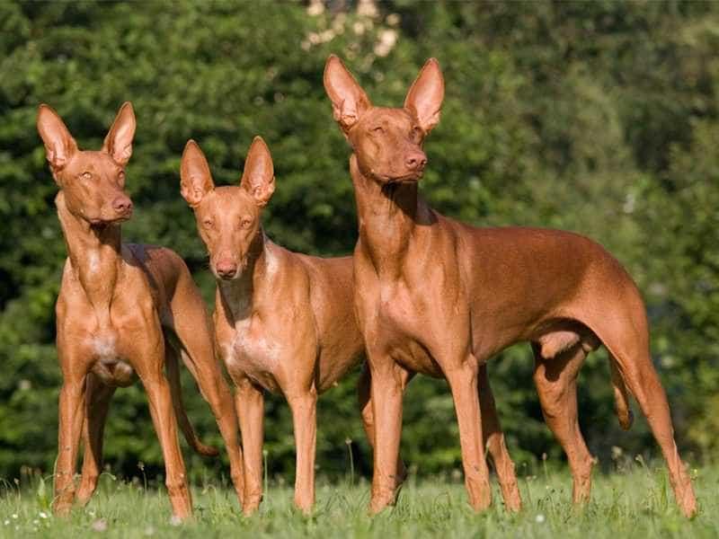 Chó Ai Cập family