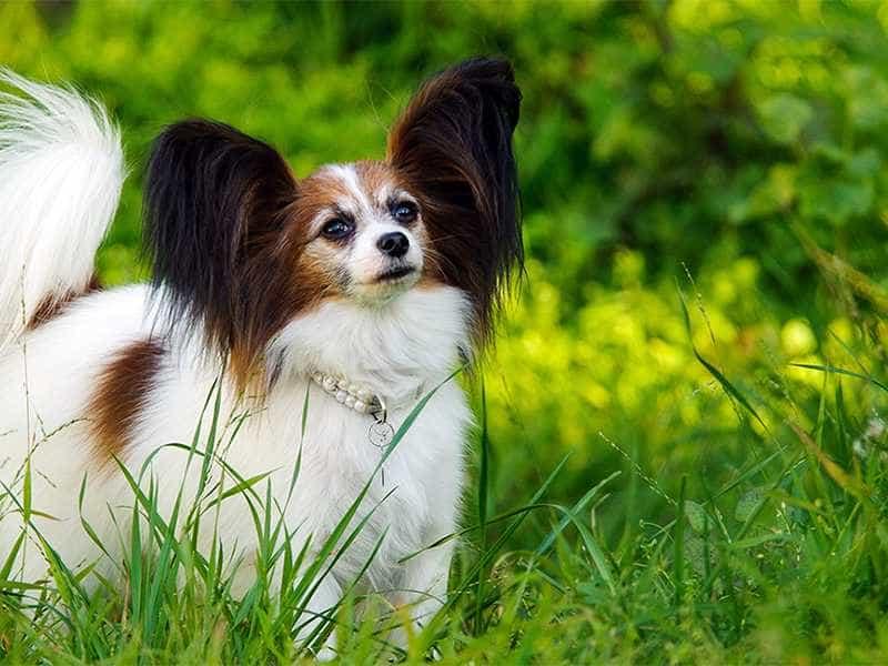 Chó Bướm de thuong