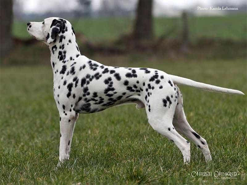 Chó Đốm khoe manh