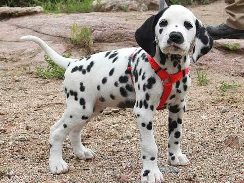 Chó Đốm con