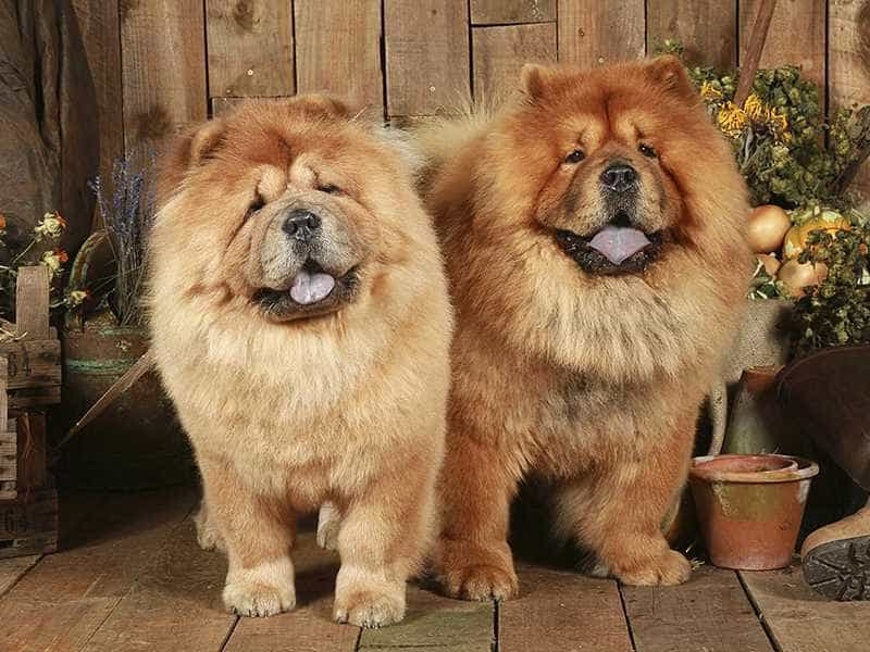 Chow Chow to