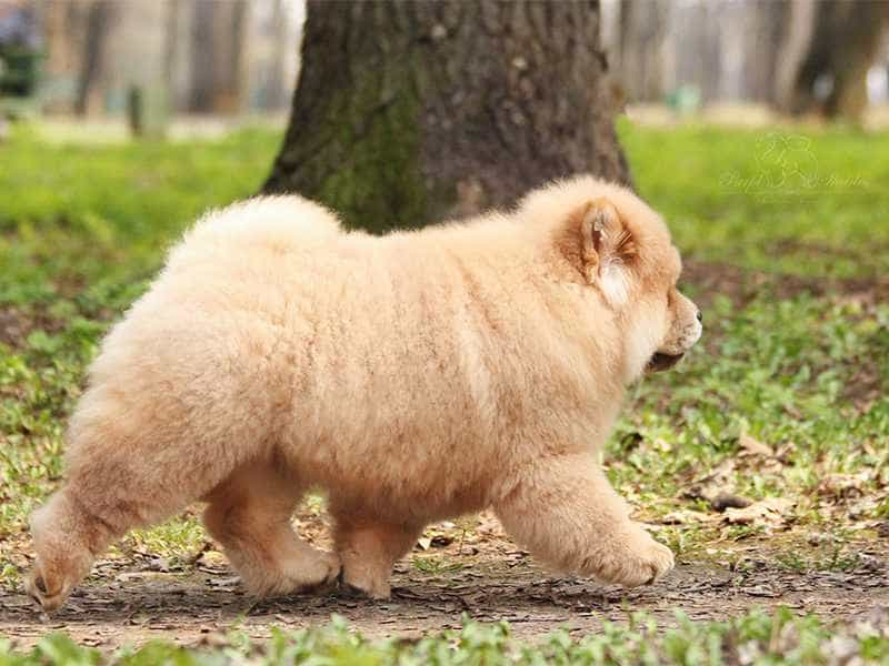Chow Chow to lon