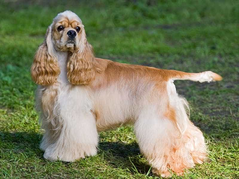 Cocker Spaniel sang chanh