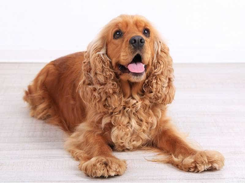 Cocker Spaniel cute