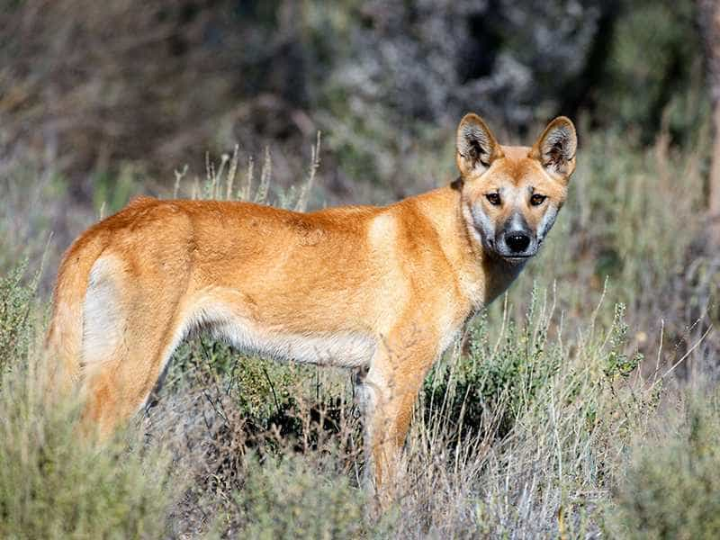 Dingo Đông Dương khoe manh
