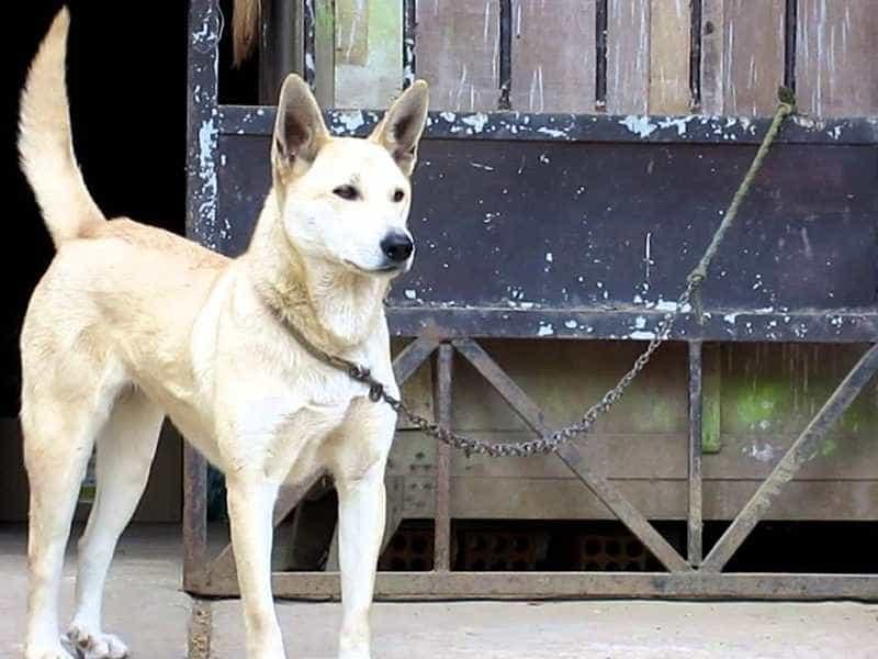 Dingo Đông Dương trang