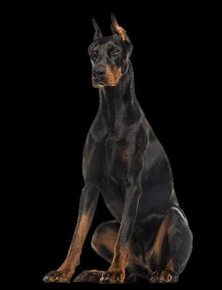 Doberman to