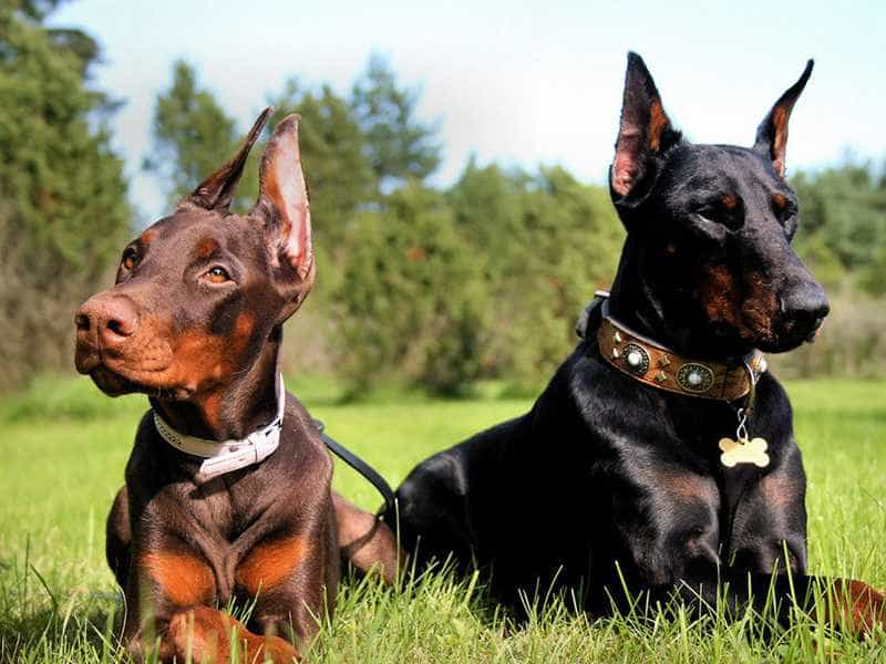 Doberman family