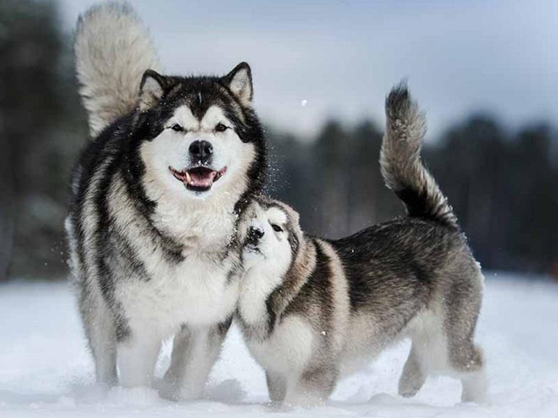 Mua Bán Chó Alaska Malamute