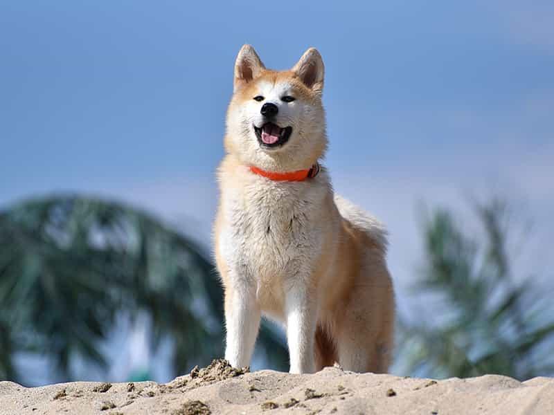 Top 3 giống chó trung thành nhất