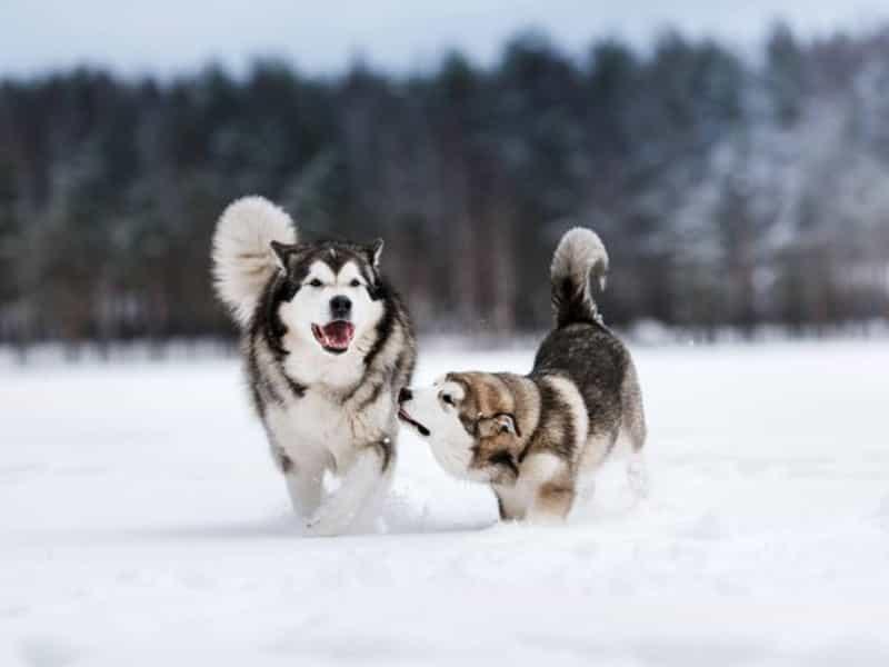 So sánh Alaska và Husky