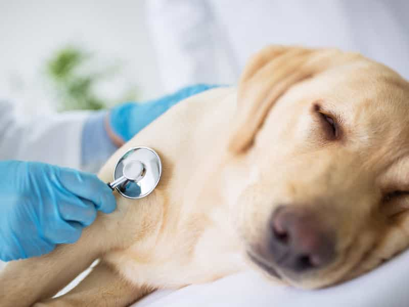 Chó bị viêm da