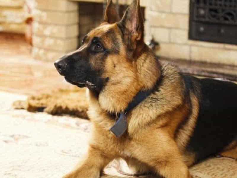 Chó Becgie Đức nghiệp vụ