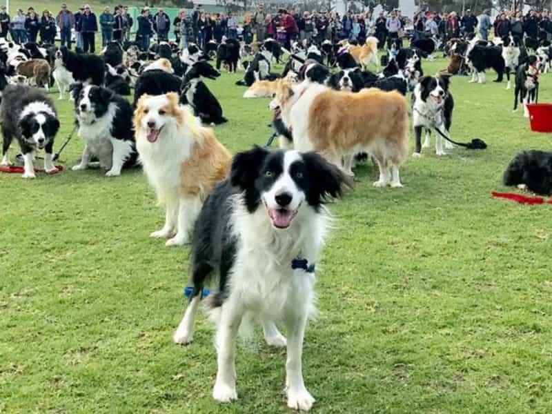 5 giống chó thông minh nhất