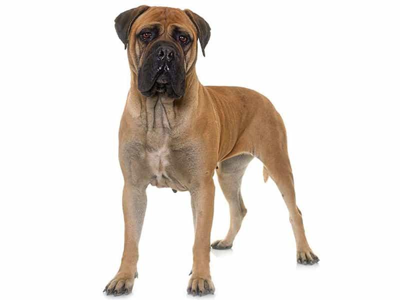 Top 6 giống chó giữ nhà tốt nhất