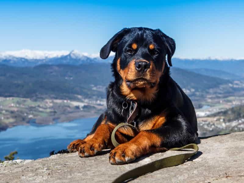 Danh sách trại chó Rottweiler