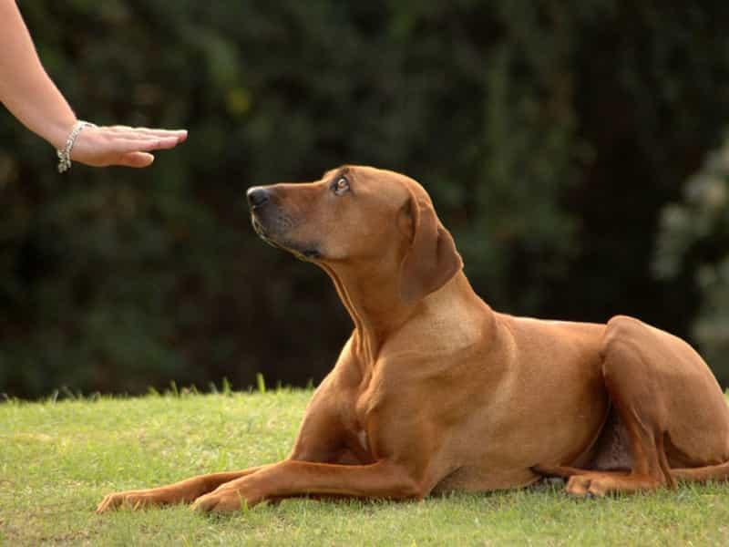 Cách huấn luyện chó